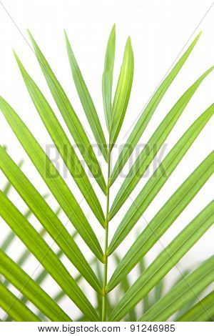 Beautiful green palm leaf on a white background