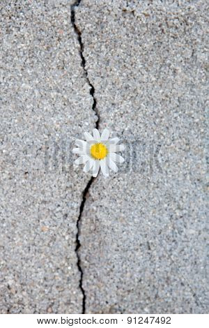 Nice daisy born from a crack in the asphalt