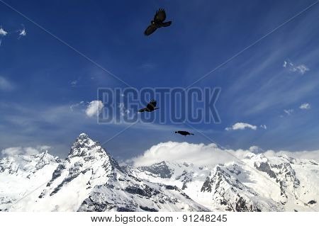 Alpine Chough (pyrrhocorax Graculus) Flying In Mountains