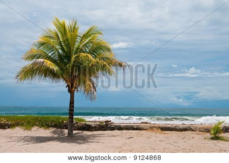 Pacific Palm