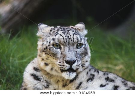 Snow Leopard Grass Wood