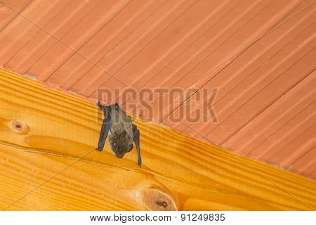 Bat Hanging Upside Down On Wooden Beam