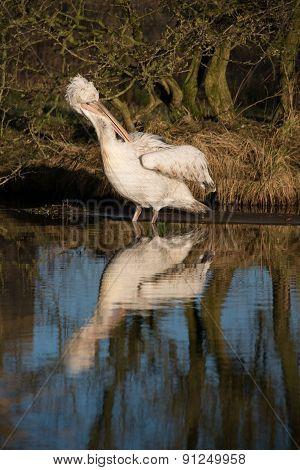 Dalmatian Pelican In Water
