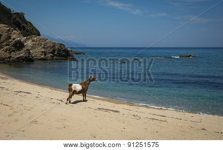 Lonely Goat On The Beach, Skiathos, Greece