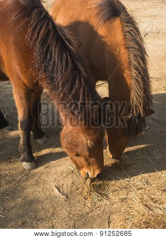 Skirian Horses, Skiros, Northern Sporades, Greece