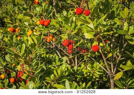 Autumn Berries, Skiros, Northern Sporades, Greece