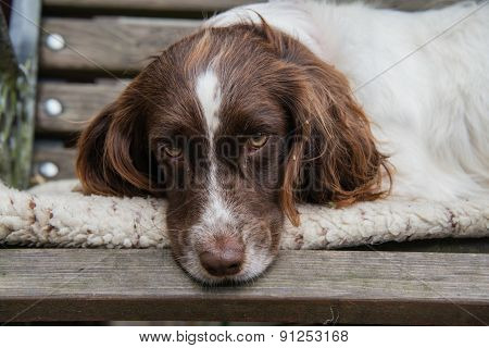 Sleepy Springer Spaniel