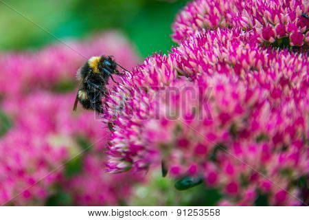 Bumblebee On Sedum (autumn Joy) Flower