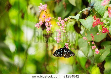 Butterfly Collects Pollen On Flower, Kuala Lumpur, Malaisia.