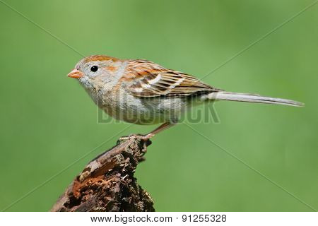 Field Sparrow (spizella Pusilla) On A Branch