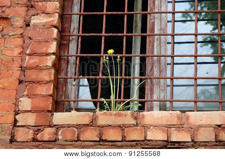 Abandoned Building From Red Brick: On Window With Bars Grow Yellow Dandelion
