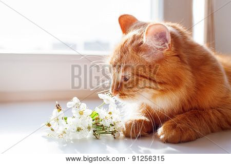 The Red Cat Smells A Bouquet Of Cherry Flowers. Cozy Spring Morning At Home. Cute Background.