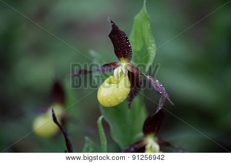 Ladys Slipper Orchid