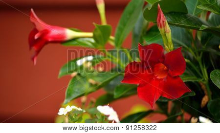 Mandevilla Blooms In Panorama Against Red Background