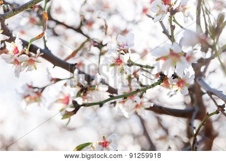 Blossoming Of Cherry Flowers In Winter Time With Green Leaves, Natural Floral Seasonal Background.