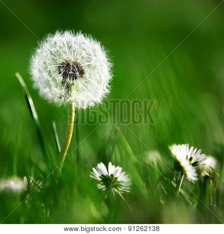 Dandelion On Blurred Green Background