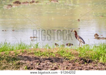 Brown Heron