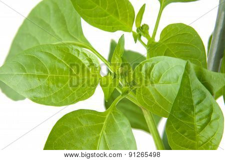 Green pepper plant leaves isolated on a white background