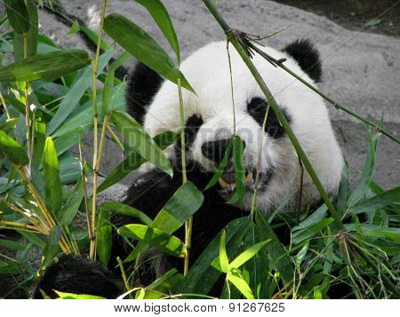 Giant Panda Bear Feeding on Bamboo Leaves
