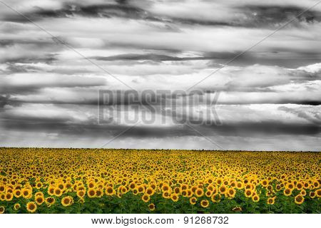 Cloudy Sky Over Sunflowers Field