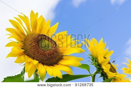 Sunflowers In The Field With Bees On It