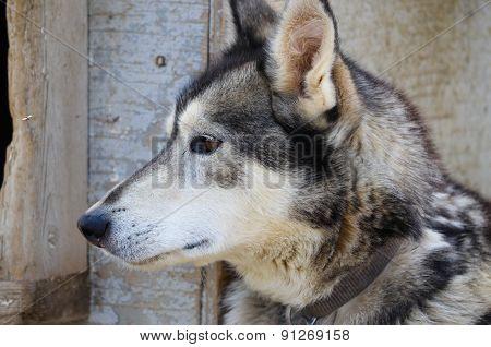 Alaskan Sled Dog Head Shot