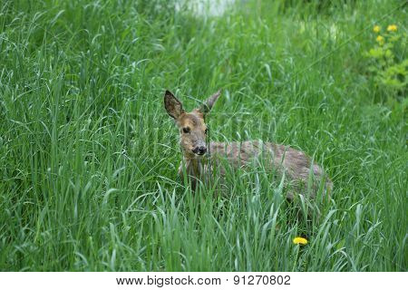 Sick Young Roe (capreolus Capreolus)