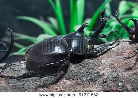 rhinoceros beetle on timber,Thailand