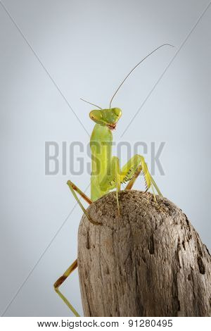 Closeup Green Praying Mantis On Stick