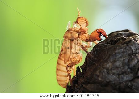 Cicada Slough Or Molt  Hold On The Tree