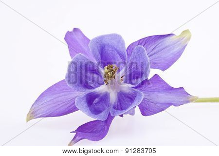 Single Violet  Flower Of Aquilegia Vulgaris