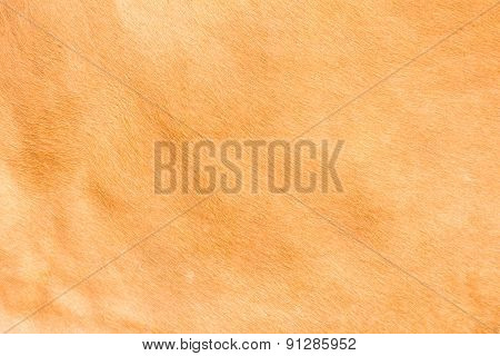 Brown Cow Skin Texture Pattern Background, Asia Thai Agriculture