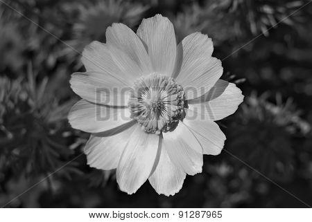 Adonis Flower.