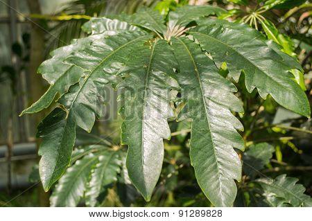 Leafs (araliaceae)