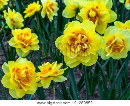 Flowers ( narcissus sp. tahiti)