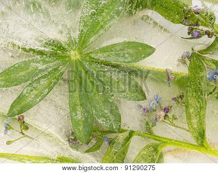 Green Leaf Lupine Ice