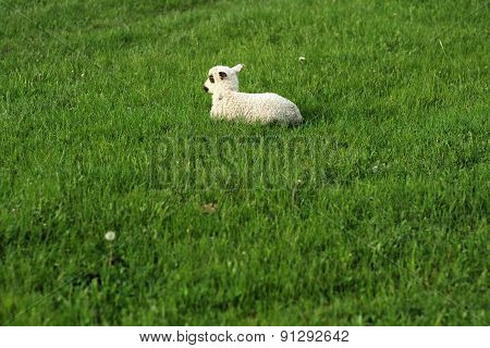 One Sheep On The Grass