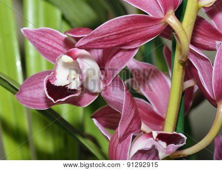 Cymbidium Hybrid Orchid