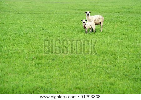 Two Sheep On The Grass