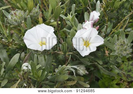 Shrubby Or Silvery Convolvulous