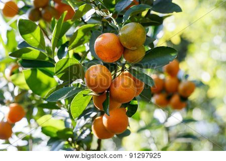 Closeup fresh orange on plant, orange tree