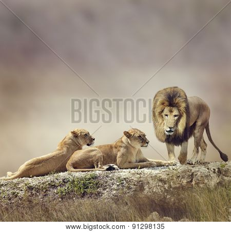 Family of Lions On A Rock