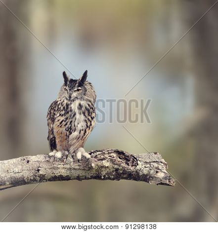 Great Horned Owl Perches on a Branch