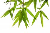 picture of bamboo leaves  - green bamboo leaves and branches isolated on white background Die cutting - JPG