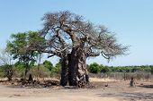 image of baobab  - majestic old baobab tree  - JPG