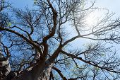 picture of baobab  - majestic old baobab tree  - JPG