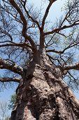 pic of baobab  - majestic old baobab tree  - JPG
