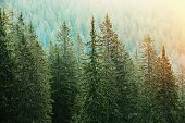 stock photo of ecosystem  - Healthy big green coniferous trees in a forest of old spruce fir and pine trees in wilderness area of a national park lit by bright yellow sunlight - JPG