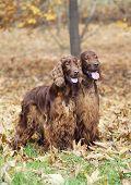 stock photo of irish  - Cute Irish Setter pair in a beautiful Autumn wood - JPG