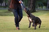 image of pit-bull  - Pit Bull Terrier playing rope with the owner - JPG